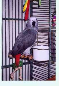 Our pride and joy!  Our African Grey parrot - Maximus
