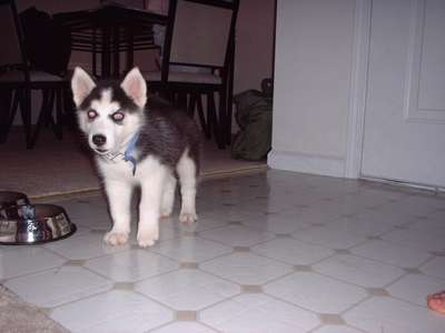 Our new puppy Skye. Born May 12, 2002. Brought home mid July. Check out those ears!!!